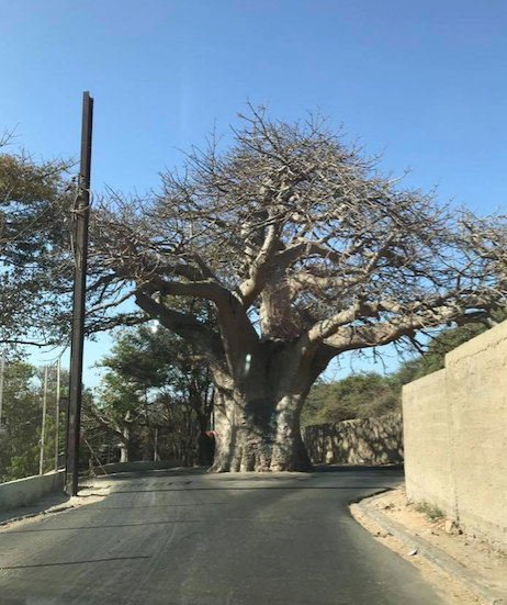 Baobab tree coastal road of Novotel